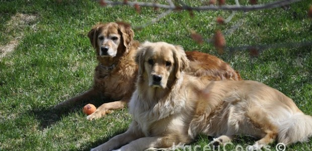 """Peanut Butter Dog Treats. Also known as """"Crunchy Mailmen"""" in our house. Golden Retriever approved. No-tree nut recipe version as well. #Real Food Girl: Unmodified"""
