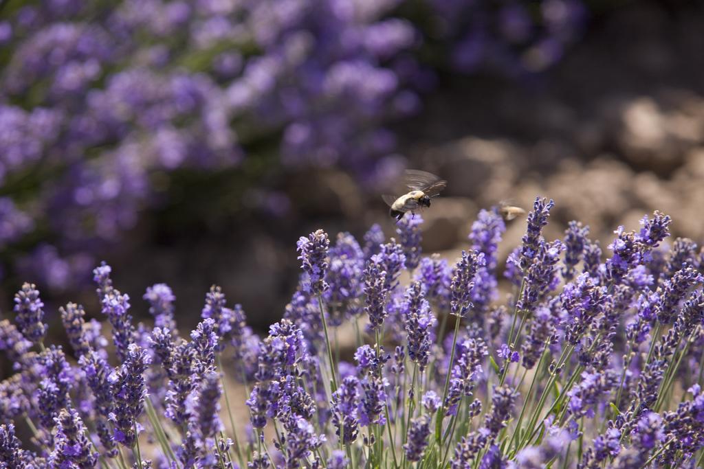 lavender field yl
